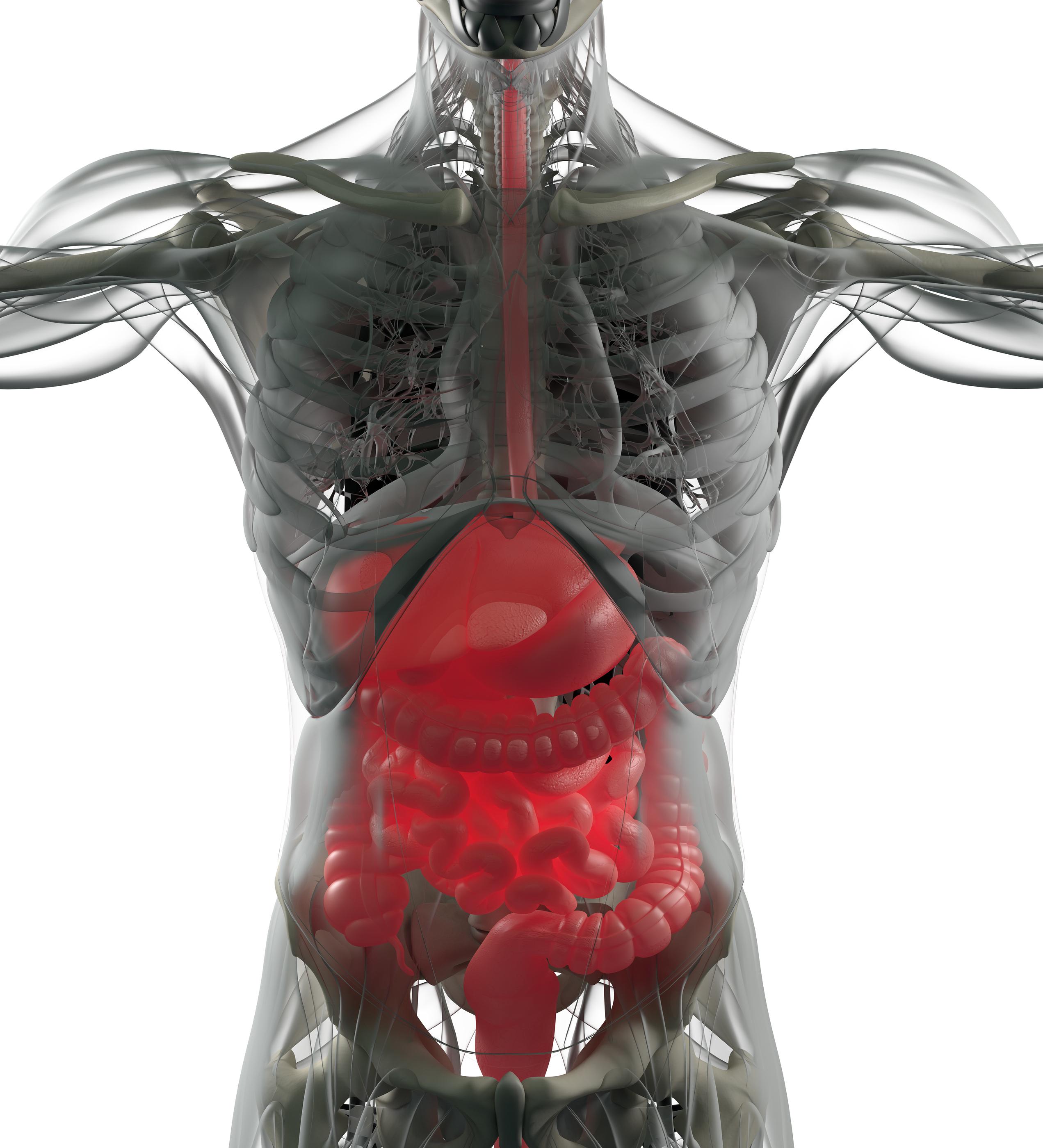 Digestive system, human anatomy, xray like futuristic scan. 3d ...